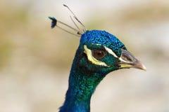Peacock. Portrait of a beautiful, blue peacock Stock Photos
