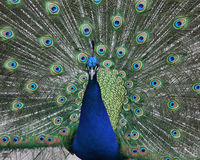 Peacock. A front shot of peacock in a zoo Stock Image