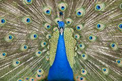 Peacock. Close Up Head Shot with feathers fanned Royalty Free Stock Photography