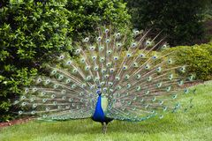 Peacock. In Full Display stock image