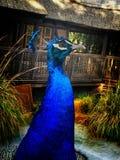 peacock Fotografia Stock