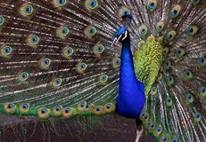 Peacock. Showing off Royalty Free Stock Photos