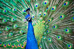 Peacock. A beautiful peacock with colorful feathers