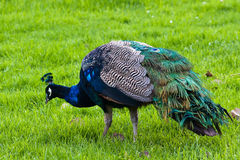 Peacock. Grazing on a lawn in the San Francisco Zoo Stock Image