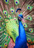 Peacock Stock Photos
