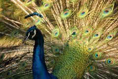 Free Peacock Royalty Free Stock Images - 82501409