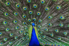Free Peacock Stock Images - 8433114