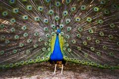 Free Peacock Royalty Free Stock Image - 87863356