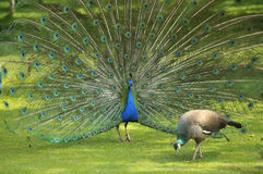 Peacock. Display of beauty feathers to the female Stock Photo