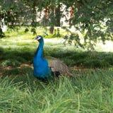 peacock Immagini Stock