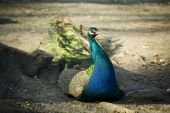 Peacock. Turquoise peacock in a zoo Stock Photography