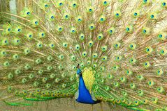 Peacock. A peacock proudly displaying its plumage Royalty Free Stock Photo