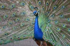 peacock Imagens de Stock
