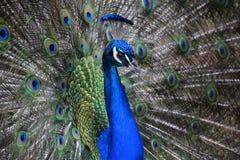 Peacock Στοκ Εικόνες
