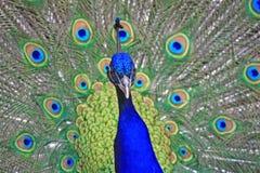 Peacock. A photo of a peacock stock photography