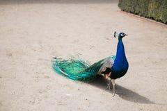 Peacock Στοκ εικόνα με δικαίωμα ελεύθερης χρήσης
