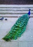 peacock Fotografia Stock Libera da Diritti