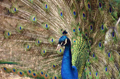 Peacock. With feathers spread wide stock photos