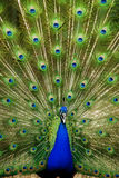 Peacock in action. Claiming indian peacock with tail extended stock photos