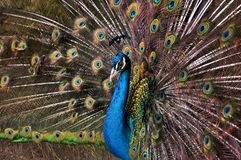 Peacock, Afropavo, Pavo. royalty free stock photography