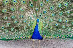 Peacock all fanned out showing off feathers Royalty Free Stock Photo