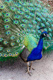 Peacock all fanned out showing off feathers Royalty Free Stock Photos