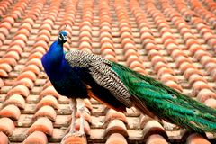 Peacock. Animal beauty wings colors animal birds wild life  wild-beauty farm Stock Photos