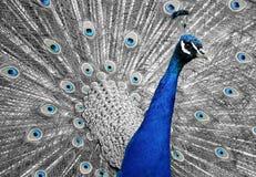 Peacock, Animal, Bird, Feather Stock Photo