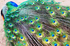 Peacock. A peacock as a background royalty free stock photography