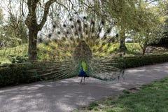 Peacock on asphalt footpath royalty free stock image