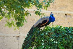 Peacock in attitude of attack, Lleida royalty free stock image