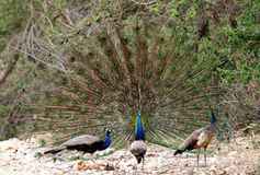 Peacock attracting a peahen Stock Photography