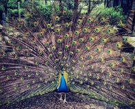 Peacock in an aviary. In pickering park, hull royalty free stock photography