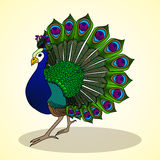 Peacock. Aviculture and poultry. Royalty Free Stock Image