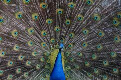 Peacock Background Pattern Royalty Free Stock Photos