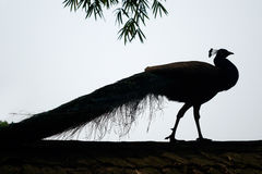 A peacock. On the backlight Royalty Free Stock Photography