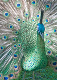 Peacock backlit. Beautiful peacock with tail fully open Stock Photo