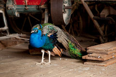Peacock in Barn Royalty Free Stock Image