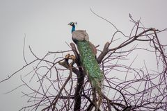 Peacock on barren tree. Indian peacock species on a barren isolated tree in Gir Forest royalty free stock image