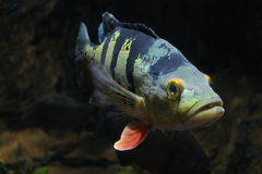 Peacock Bass Stock Photo