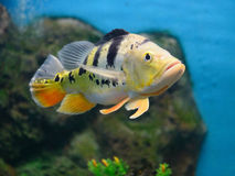 Peacock Bass in aquariam. One Peacock Bass in aquariam Stock Photography