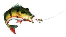 Free Peacock Bass Cichlid Attack Golden Wobbler Bait. Royalty Free Stock Photo - 208659805