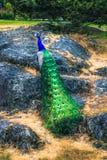 Peacock in Beacon Hill Park. VICTORIA, BC - JANUARY 25, 2016 - A peacock in Beacon Hill Park on January 25, 2016, in Victoria Stock Photos