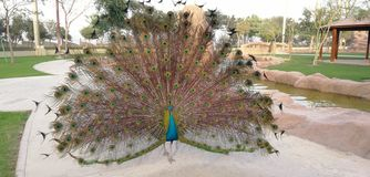 Peacock. Beatiful bird longfeather quill royalty free stock photography