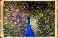 Peacock Royalty Free Stock Photos