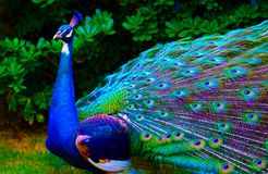 The peacock4 royalty free stock image