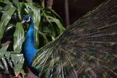 Peacock. A beautiful peacock with colorful feathers Stock Images