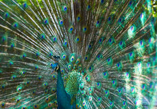 Peacock with beautiful colorful tail Royalty Free Stock Image