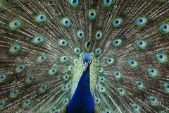 A peacock Royalty Free Stock Images