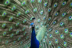 A peacock Royalty Free Stock Photos